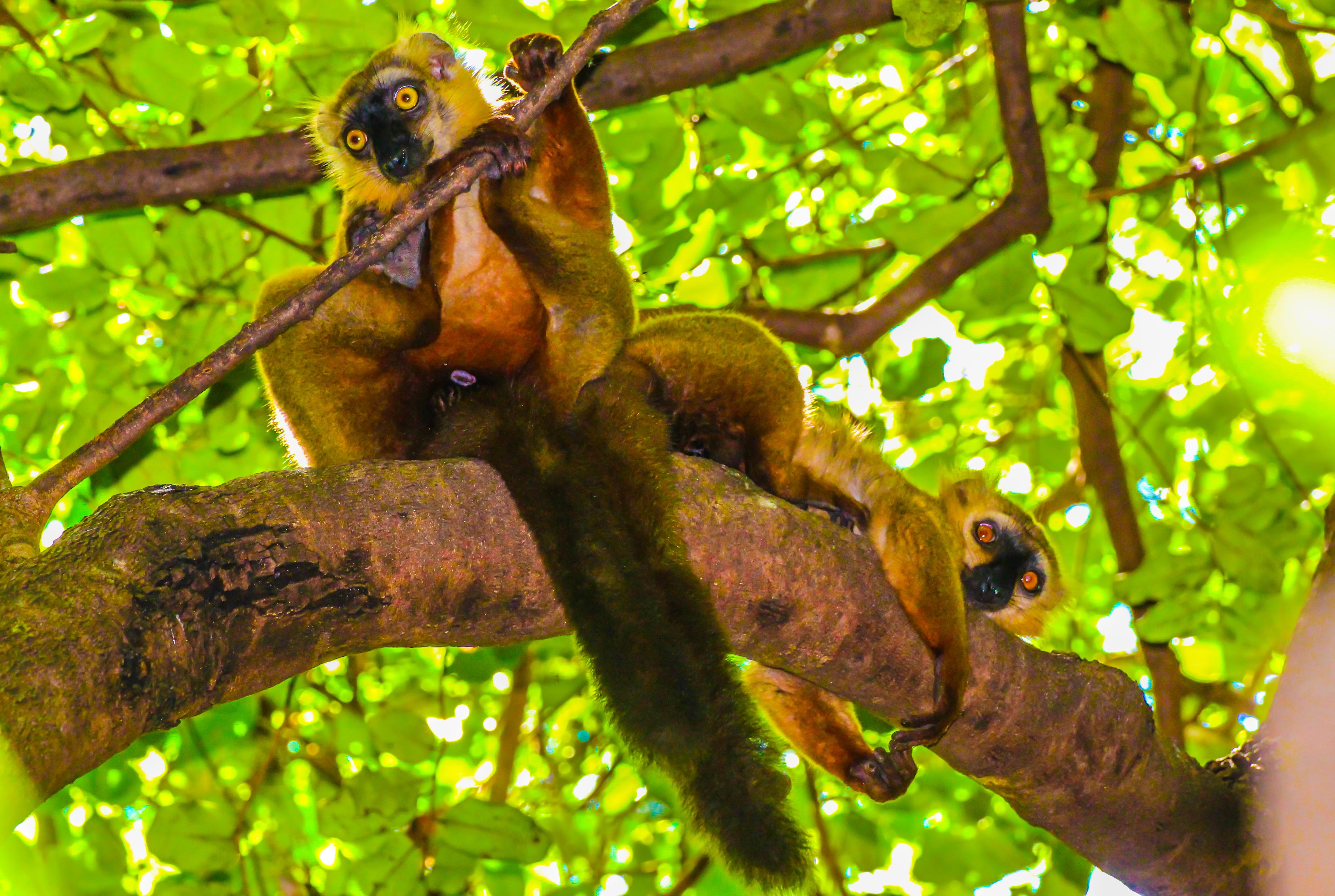 Sandford's Lemur