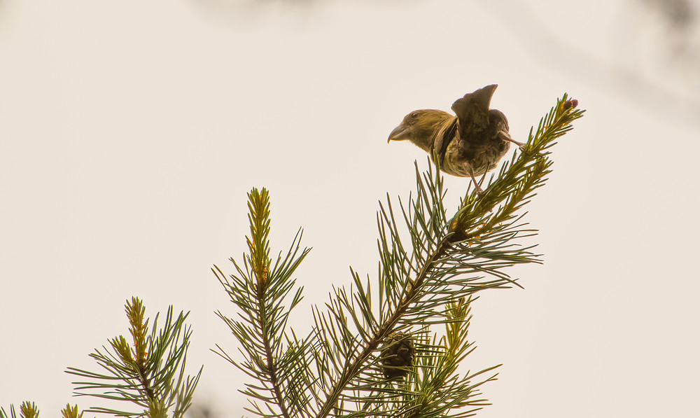 Crossbills fed on pine cones in the canopy