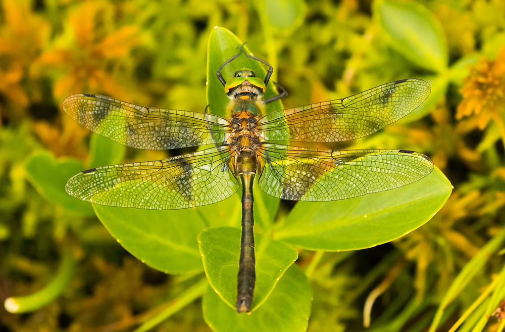 Male Downy Emerald