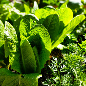 Lettuce in the AZ sunshine!