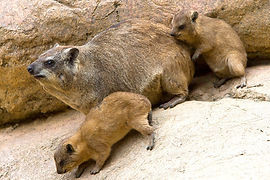 Rock Hyraxes San Diego Zoo.jpg