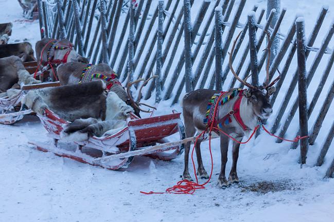 Rentiere im Santa Claus Village