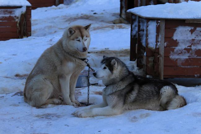 Schlittenhunde in Tromsø