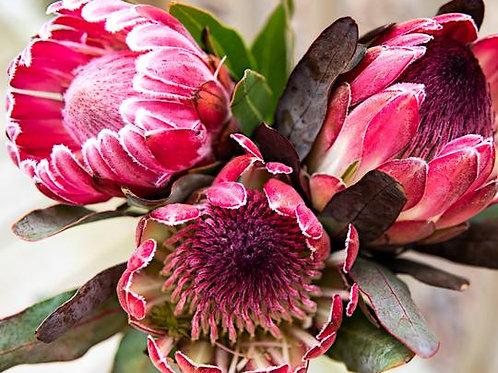 Pink Picasso Kits, Pretty Protea