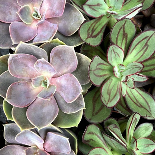 Pink Picasso Kits, Such A Succulent