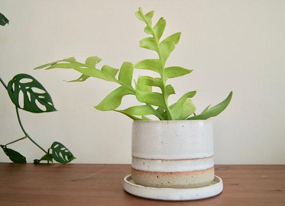 White Stripe Planter with Saucer