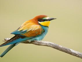Ces oiseaux colorés venus du Sud