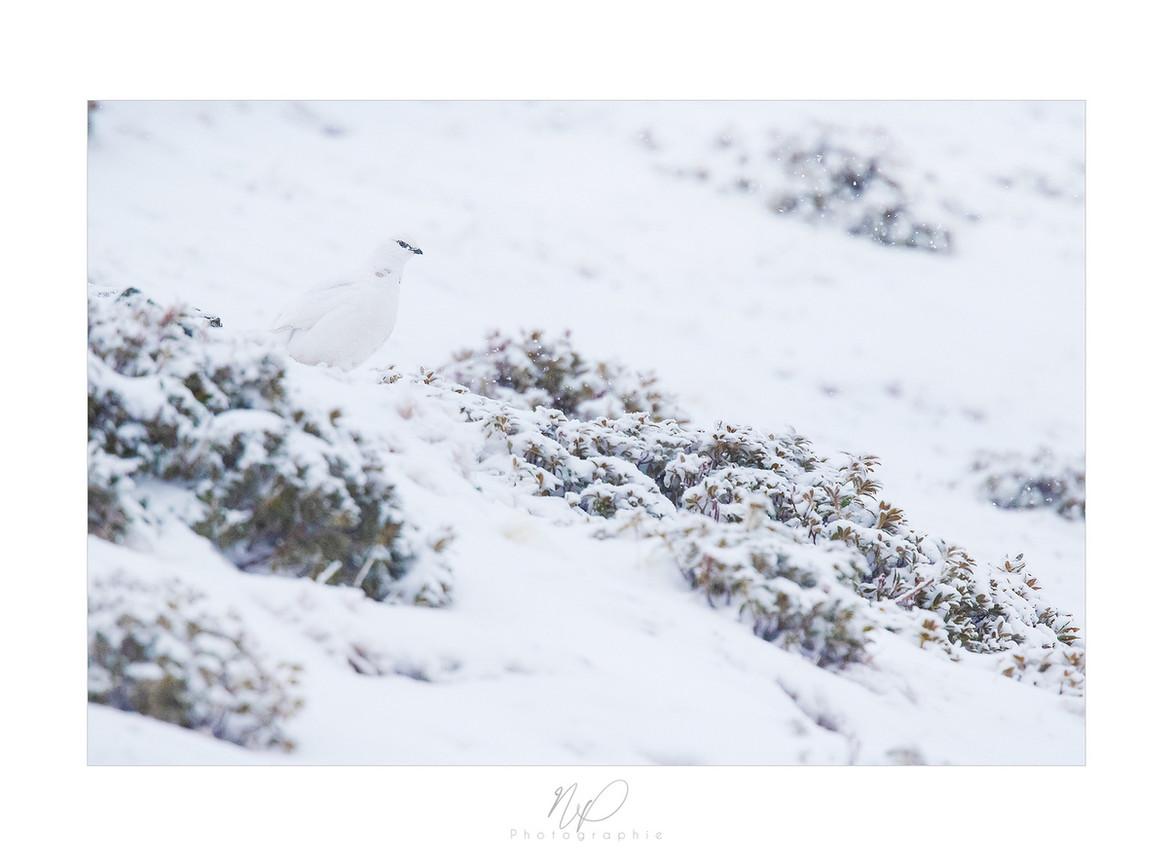 Lagopède alpin des Pyrénées