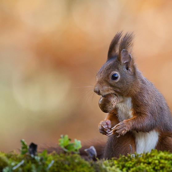 Photographier l'écureuil roux
