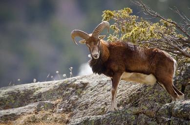 mouflon (120)-Modifier_edited.jpg