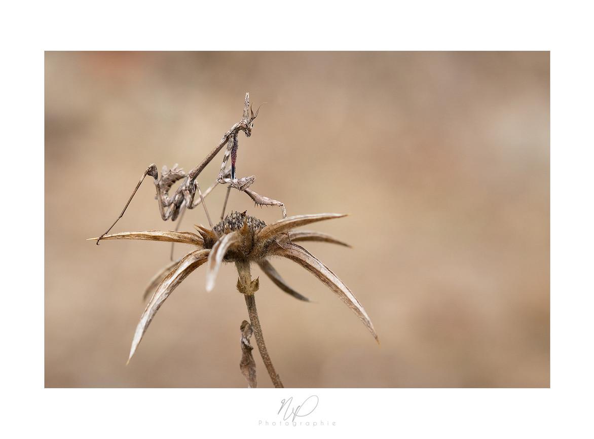 Diablotin (larve d'empuse pennée)