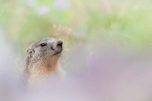 Marmotte2.jpg