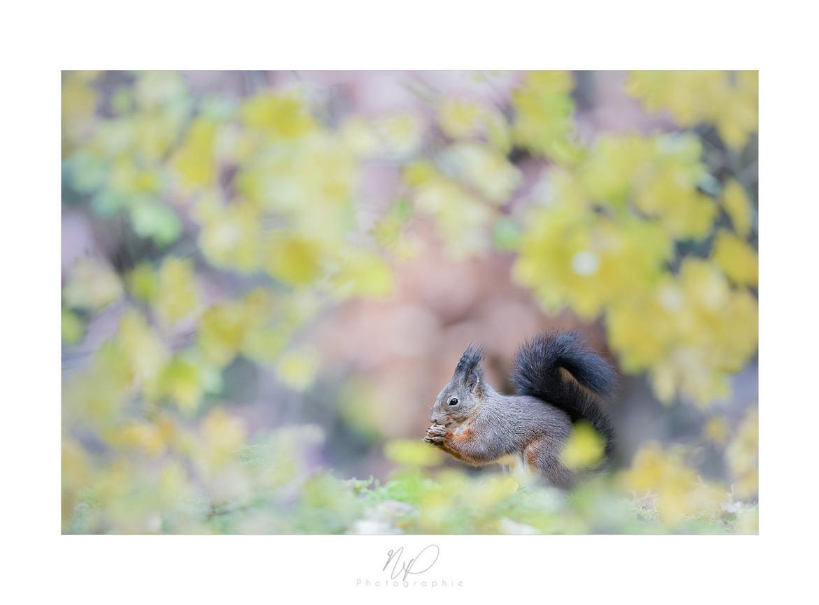 Ecureuil roux