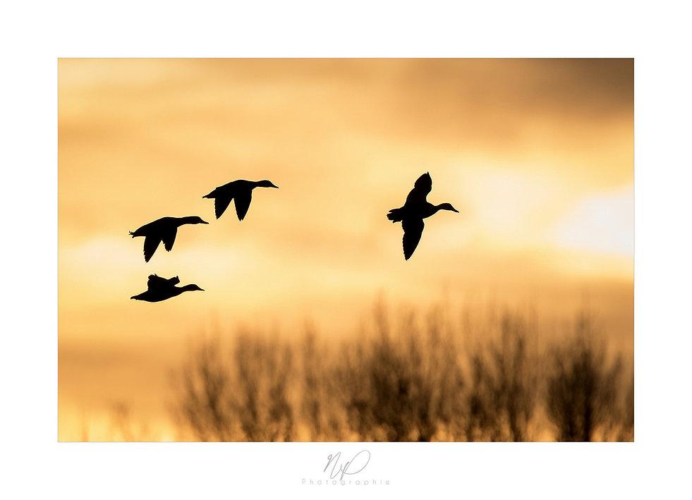 Vol de canards colvert