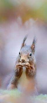 Squirrel pastel-Modifier-2 - Copie.jpg
