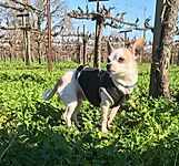 Guido bisordi of fulton california adopted from sonoma county animal shelter 2012