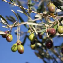 olives017.jpg