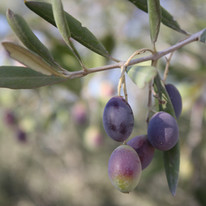 olives013.jpg