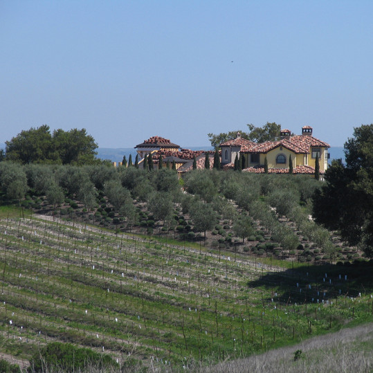 Olive Trees and vineyard