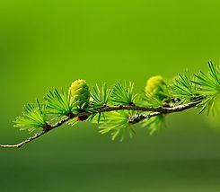 branch-conifer-green-40896_edited.jpg