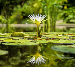 water-lily-1857350_1920_edited.jpg