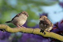 sparrows-3434123_1920 (1).jpg