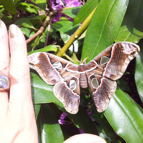 Free Atlas Moth