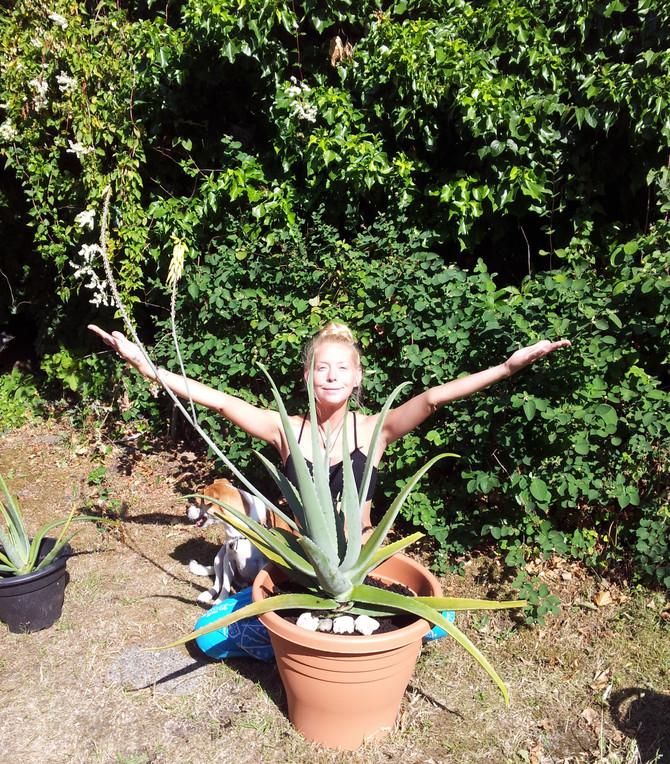My Huge Flowering Aloe Vera Mother Plant :)