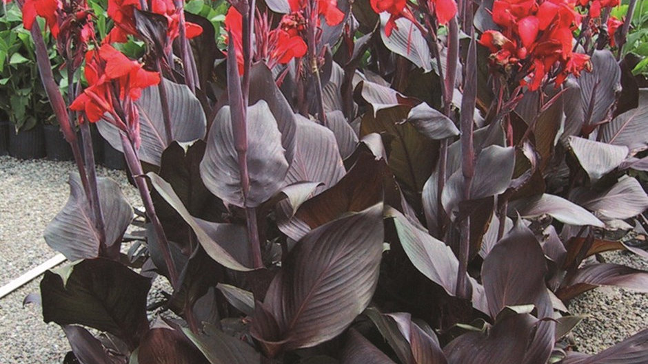 CANNA INDICA  SCARLET FB ROUGE FEUILLAGE BRONZE