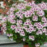 Pelargonium-parfume-Mosquitaway-Lizzy.jp