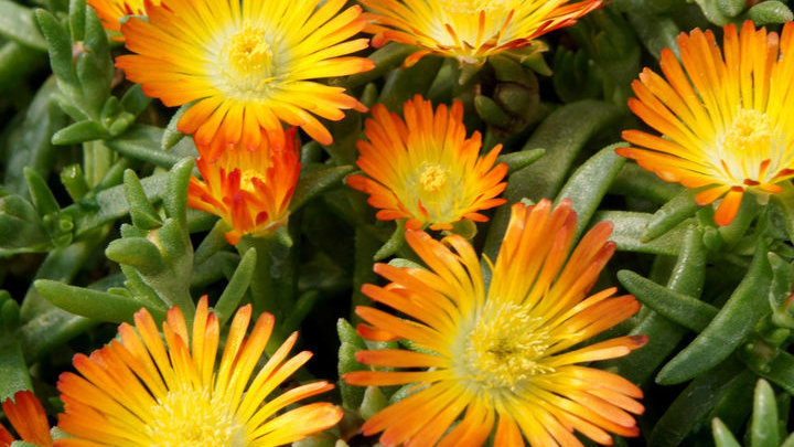 DELOSPERMA WHEELS OF WONDER ORANGE