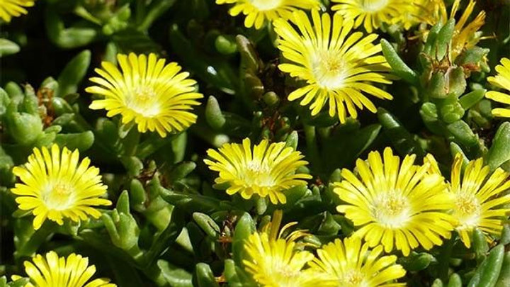 DELOSPERMA WHEELS OF WONDER JAUNE CITRON