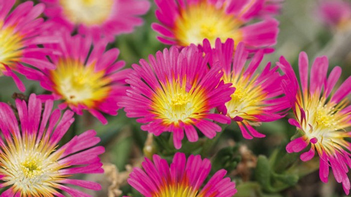 DELOSPERMA WHEELS OF WONDER ROSE FONCE COEUR JAUNE