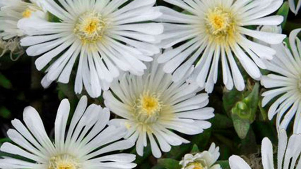 DELOSPERMA WHEELS OF WONDER BLANC