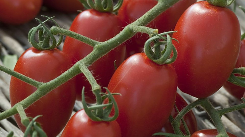 TOMATES TRILLY F1 ROUGE ALLONGE