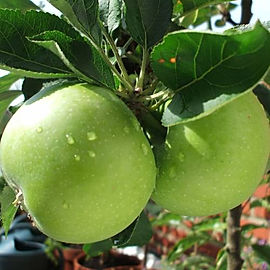 pommier-granny-smith.jpg