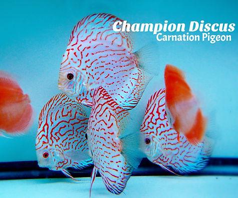 Carnation pigeon 4_edited.jpg