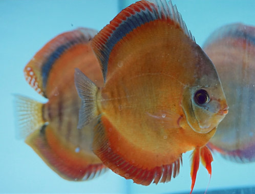 San Merah Breeding Pair