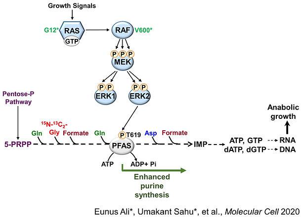 ERK2-PFAS_Summary-Schematic.jpg
