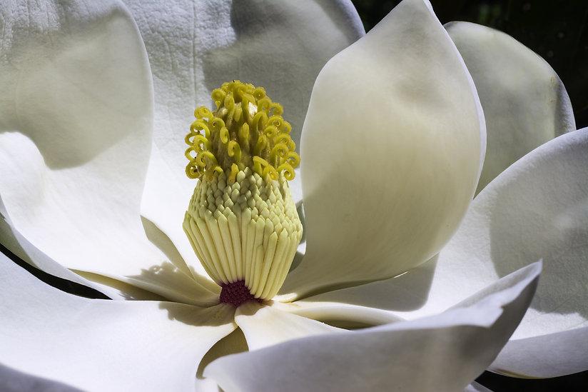 Canva - Closeup of a Magnolia Flower.jpg