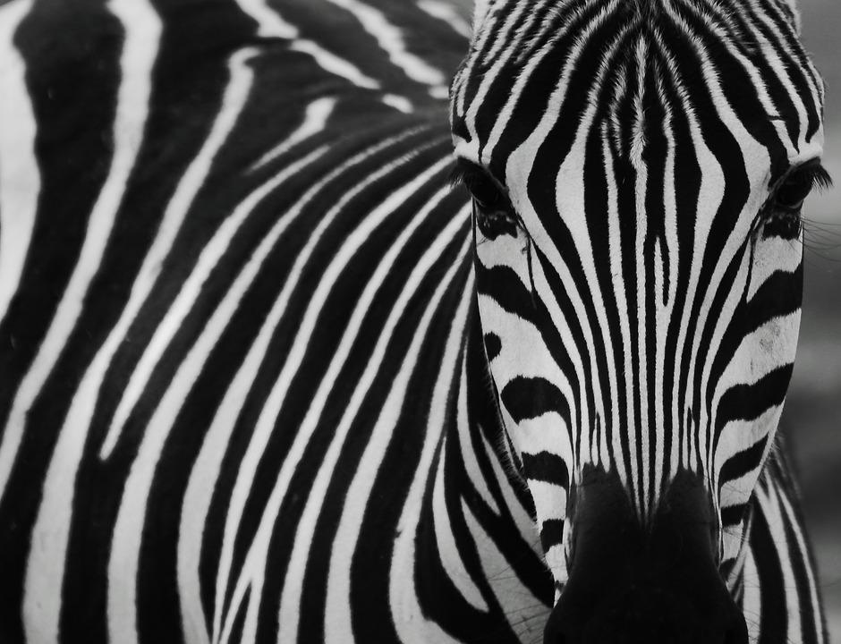 zebra-2896325_960_720