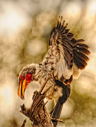 yellow_billed_hornbill.jpg