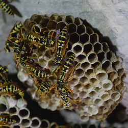 WASP NEST BUILDING.png