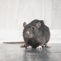 Rat Pest Control Kent & London