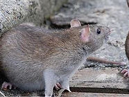 Rodent Control Medway