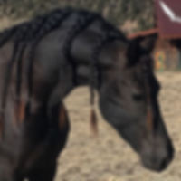 Friesian stallion Armani LRF