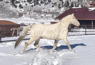 Appaloosa stallion at Stud Colorado