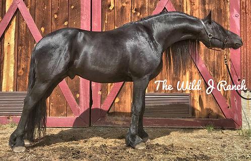 Friesian stallion Colorado