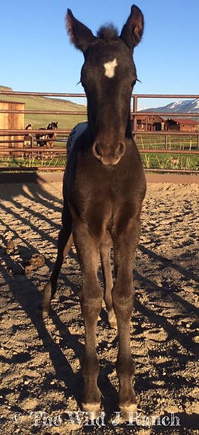 Friesian Appaloosa For Sale