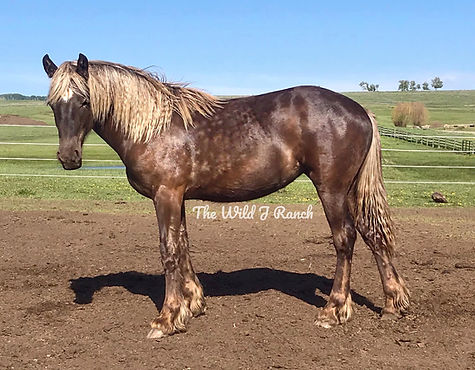 Silver dapple Friesian